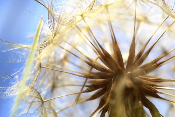 Close-up of a mature dandelion head