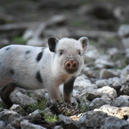 A mini pig.